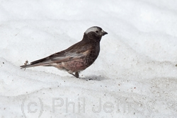 Black Rosy-Finch