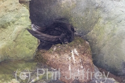 Black Swift