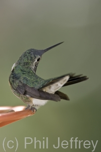Broad-tailed Hummingbird