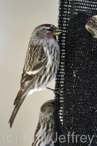 Common Redpoll