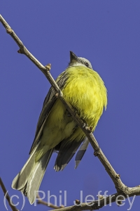 Couch's Kingbird