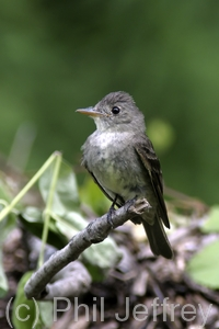 Eastern Wood-Pewee