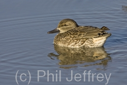 Green-winged Teal