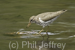 Spotted Sandpiper