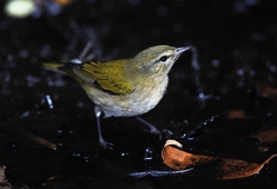Tennessee Warbler