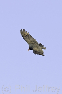 Turkey Vulture
