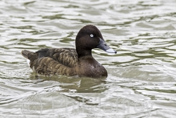 White-eyed Duck