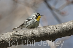 Yellow-throated Warbler