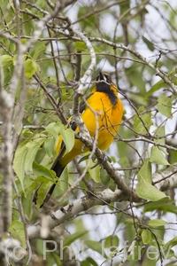 Altamira x Audubon's Oriole (hybrid)
