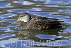 American Black Duck x Mallard (hybrid)