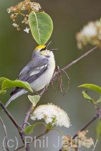 Brewster's Warbler (hybrid)