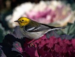 Townsend's x Hermit Warbler (hybrid)