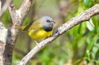 Mourning Warbler