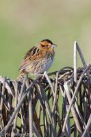 Nelson's Sparrow