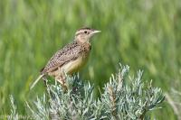 Western Meadnowlark