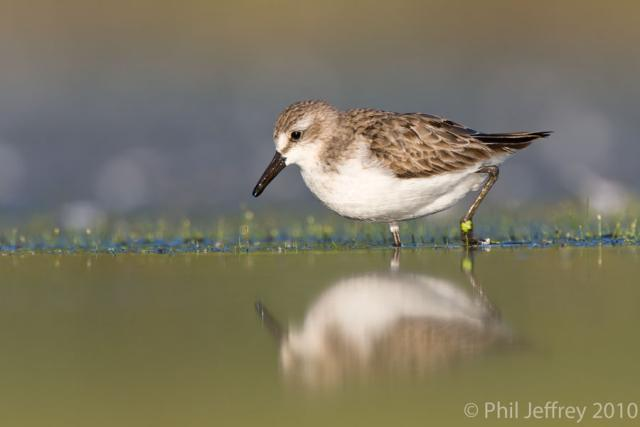 Semipalmated Sandpiper adult
