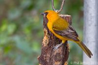 Altamira Oriole female