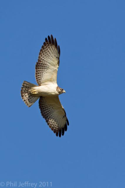 Short-tailed Hawk pale morph