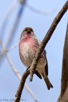 Common Redpoll adult male