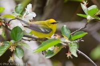 Blue-winged Warbler male