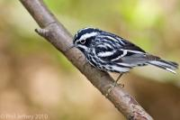 Black-and-White Warbler adult male