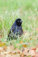 Shiny Cowbird displaying