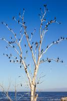 Double-crested Cormorant roost