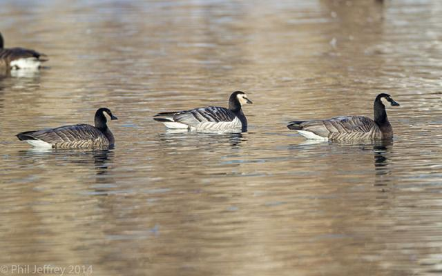 Barnacle Goose with Barnacle X Canada hybrids