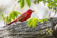 Summer Tanager first spring male