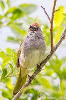 Green-tailed Towhee singing