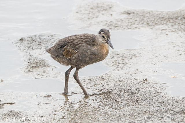 King Rail juvenile