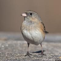 Dark-eyed Junco immature female