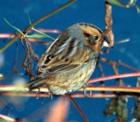 Nelson's Sharp-tailed Sparrow