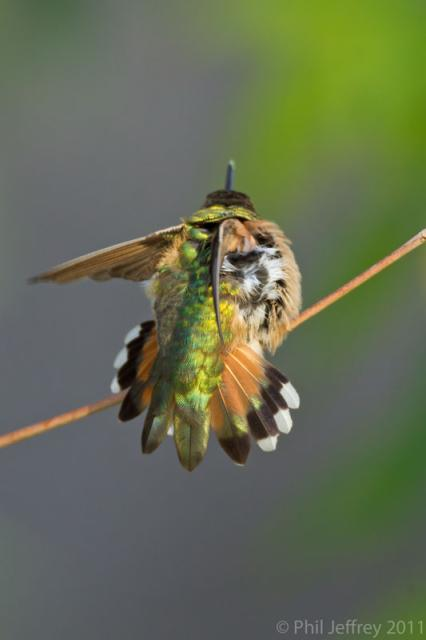 Rufous Hummingbird tail spread